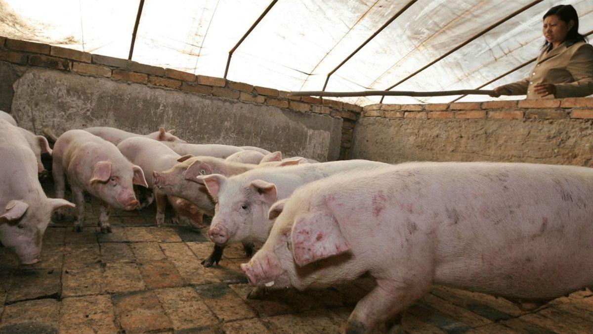 China sacrificó la mitad de sus chanchos por la peste porcina africana.