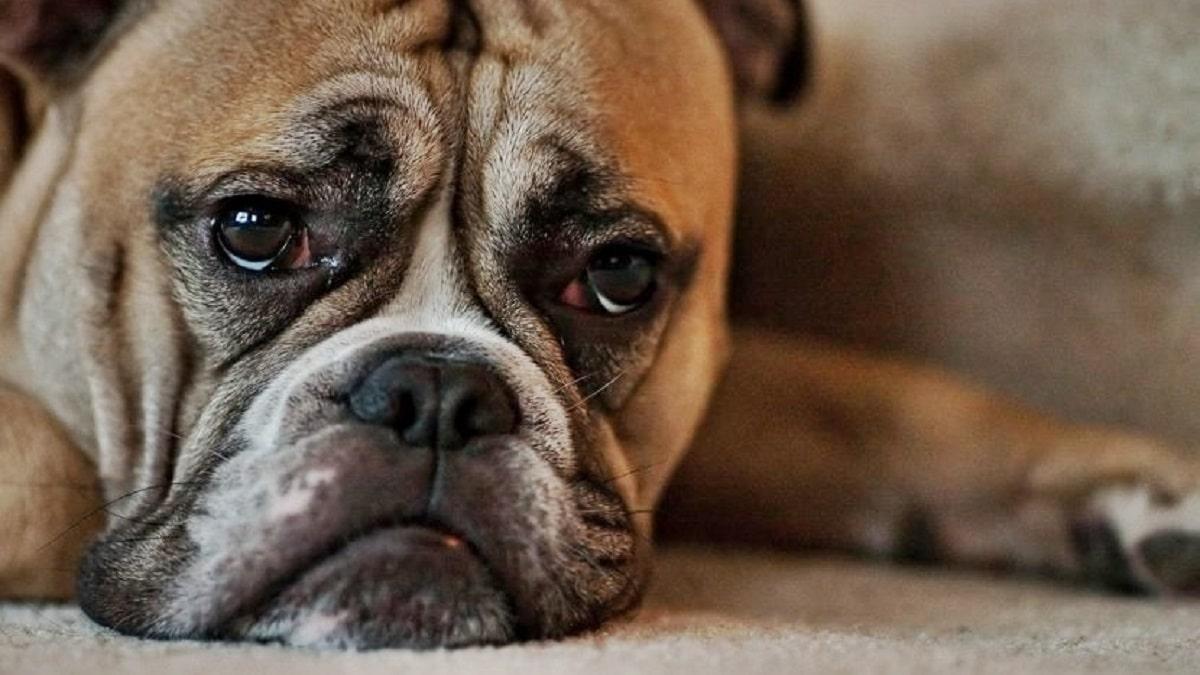 Los perros también pueden sufrir depresión: estos son los síntomas
