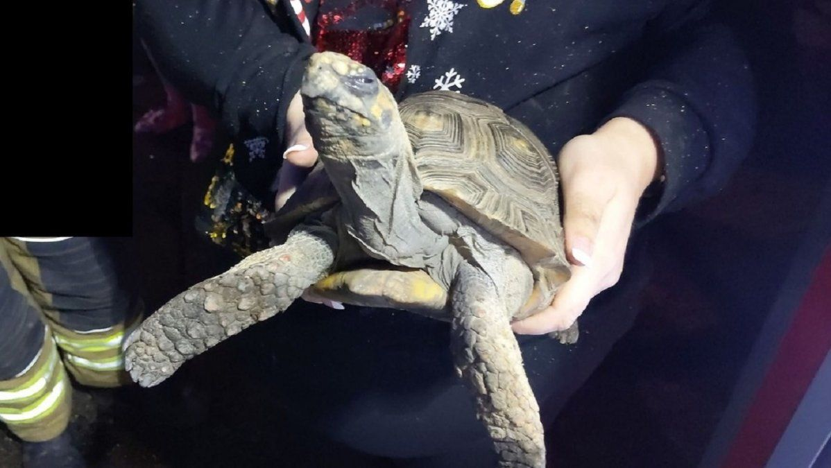 Rescatan a una tortuga enojada después de provocar un incendio en la casa de sus dueños en Navidad