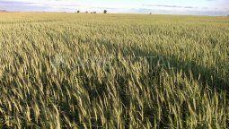 El área con lotes detrigoen condiciones malas a regulares ya ocupa más de la mitad de las 1,6 millones de hectáreas implantadas con el cereal en la zona agrícola núcleo.