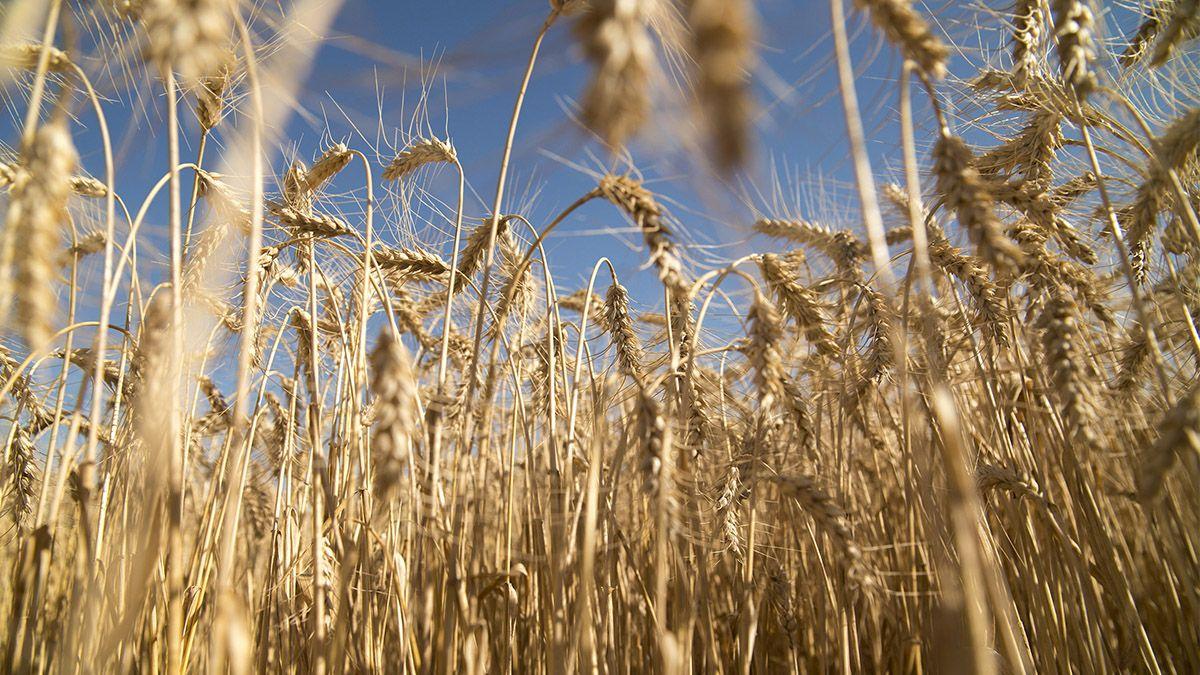 El trigo inicia la campaña 2021 con una intención den siembra de 6