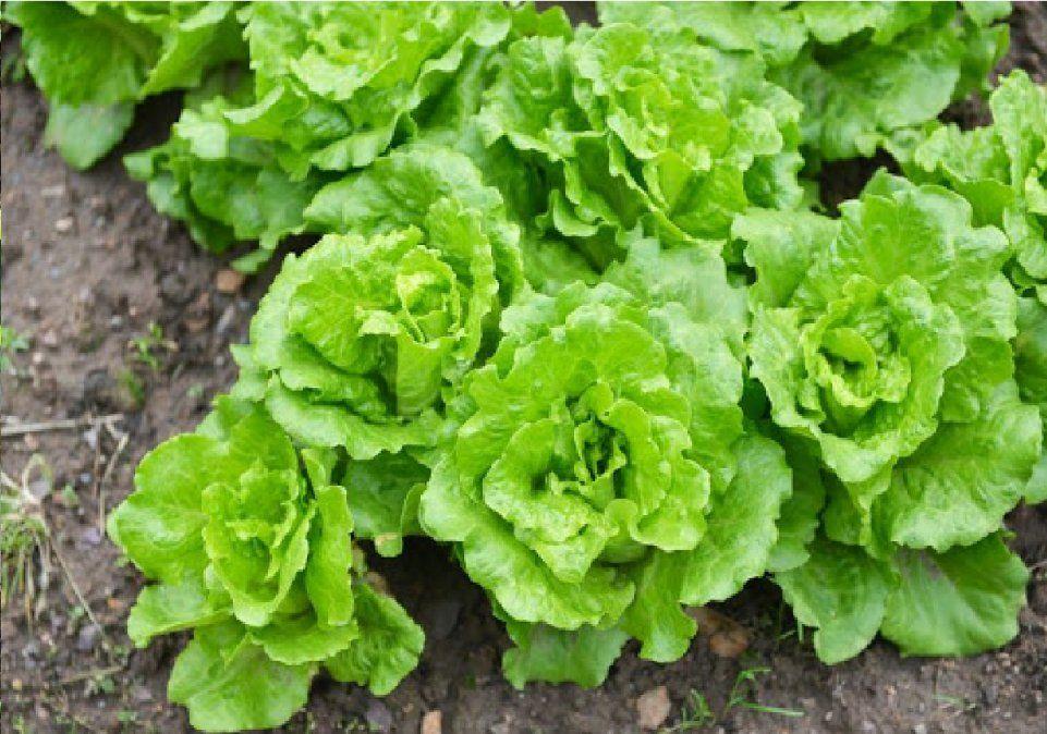 Cultivos de hoja verde que podes disfrutar en invierno.