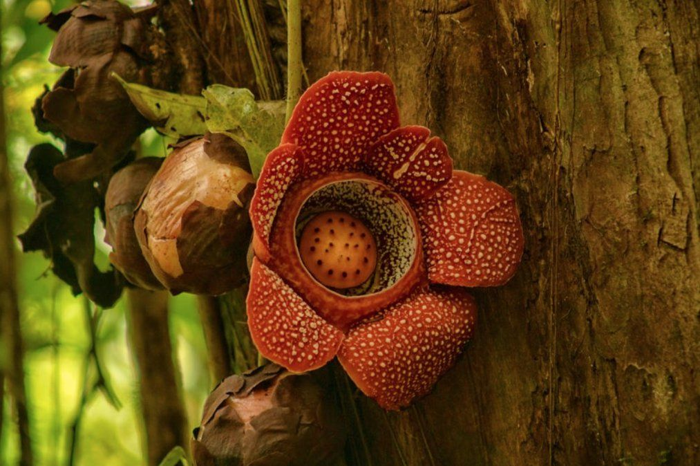 Flor monstruo de Indonesia.