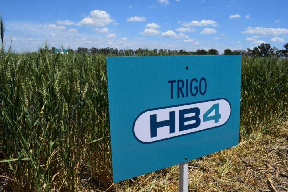 La producción masiva y liberación comercial del trigo transgénico todavía no está aprobada.