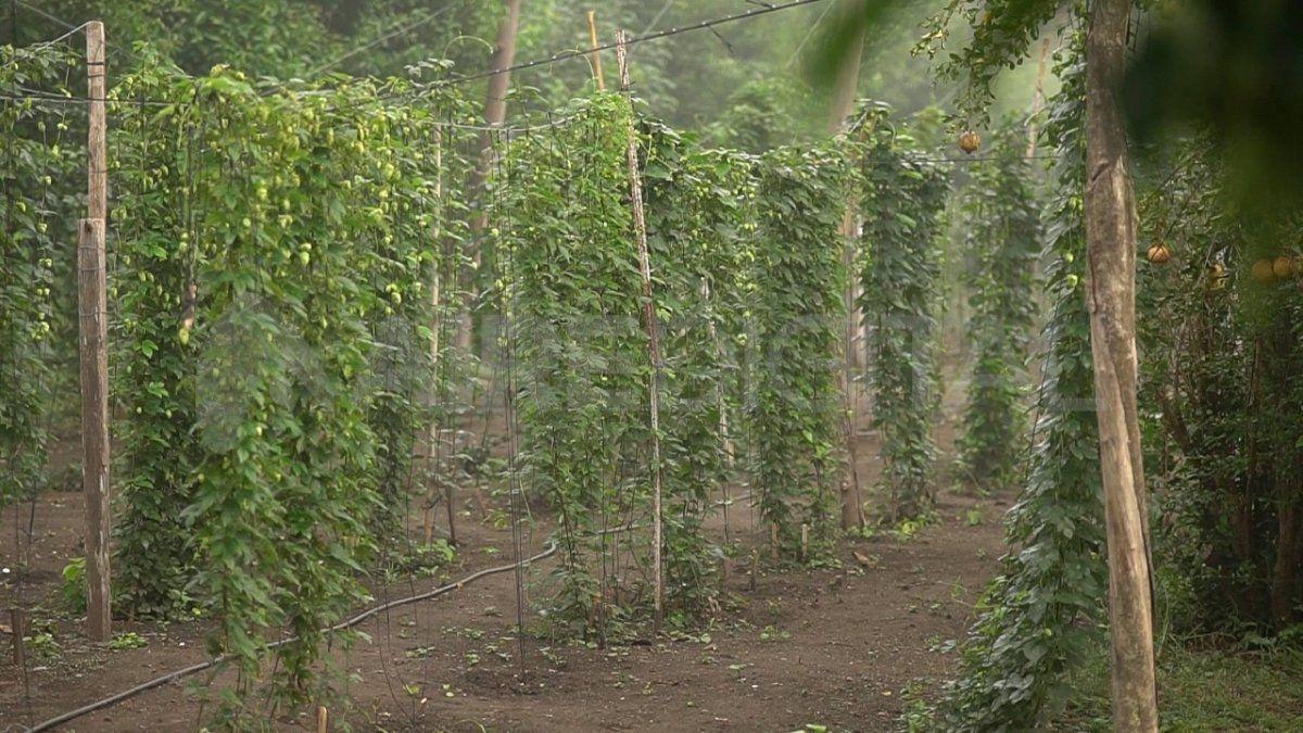 El lúpulo es uno de los componentes ineludibles a la hora de fabricar cerveza. Tradicionalmente se produce en la Patagonia