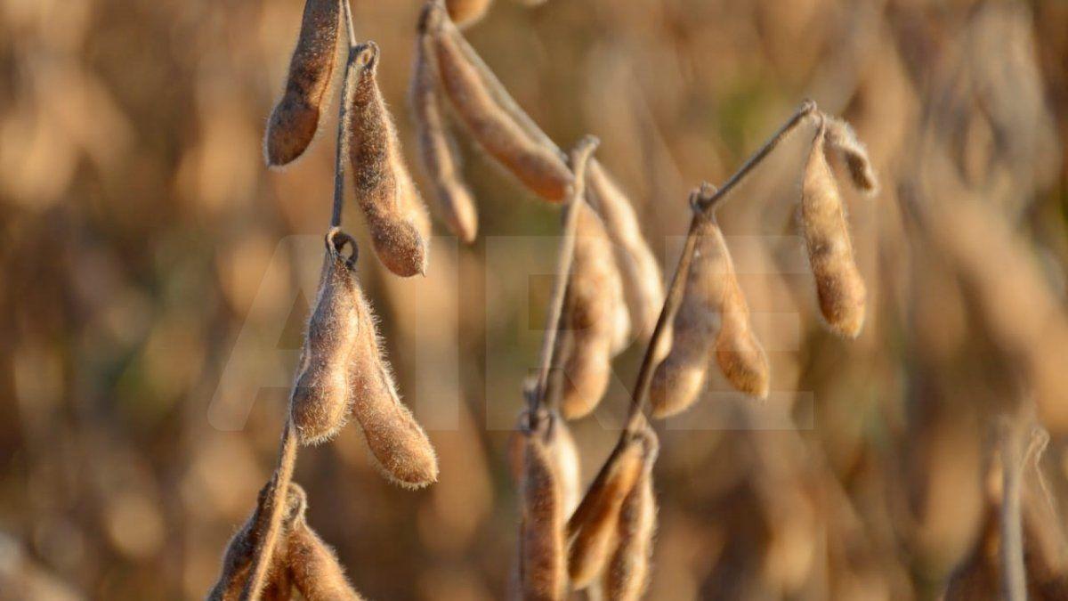 La Bolsa de Cereales de Bahía Blanca informó que el 5% de los lotes de soja se encuentra finalizando el llenado de grano (lotes de segunda), el 92% en madurez, mientras que el 3% restante ha sido cosechado.