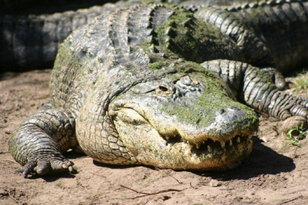 Video viral: una mujer tuvo que defenderse de un aligátor mientras navegaba.