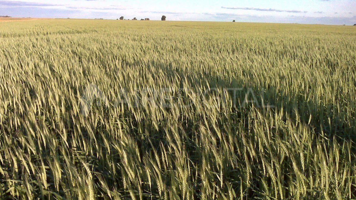 Hasta la fecha no se detectaron plagas ni enfermedades en el trigo sembrado en Santa Fe.
