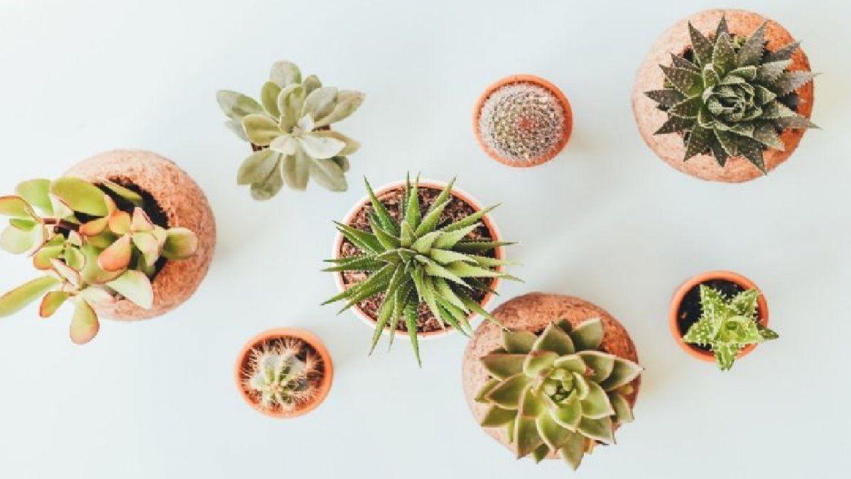 Plantas caracterizadas por sus hojas y tallos carnosos