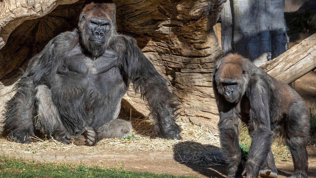 Investigan cómo se contagiaron los gorilas de coronavirus en el zoológico de San Diego