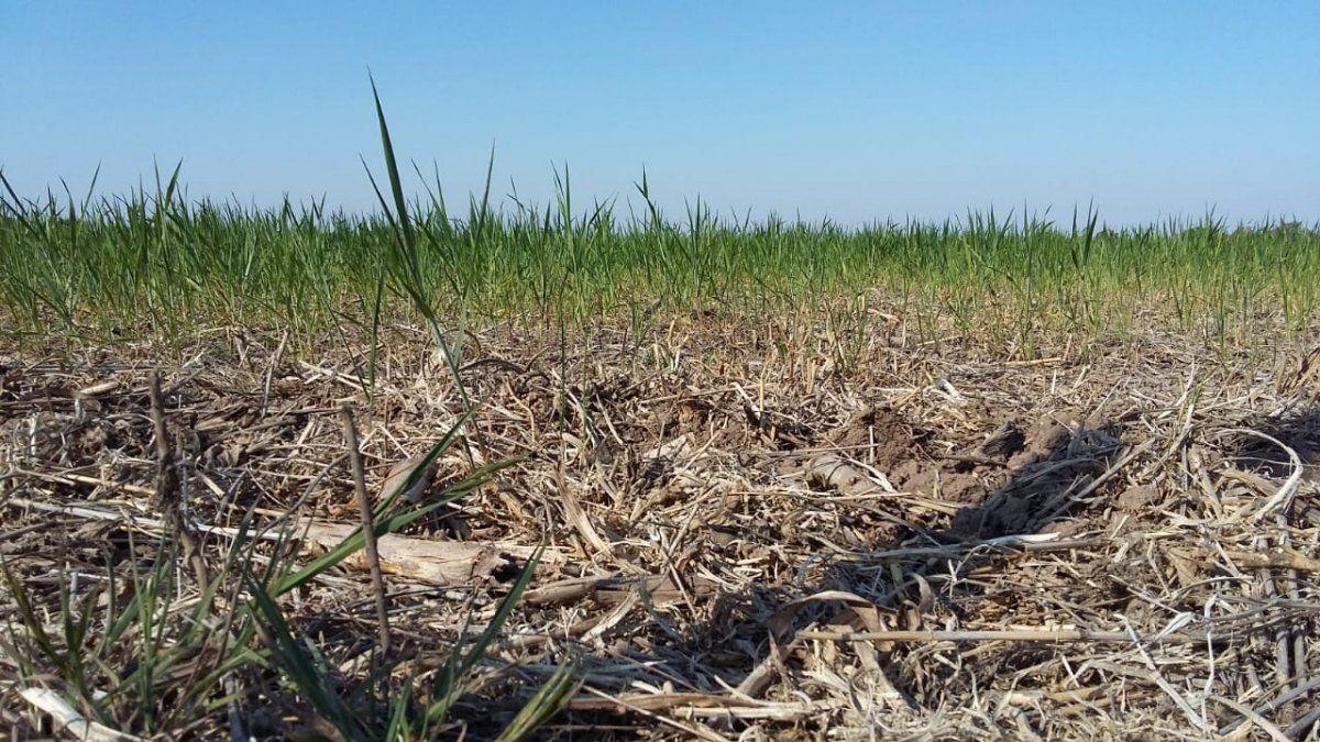 La superficie implantada de los cultivos de primera bajó de 387.816 hectáreas a 195.975 hectáreas respecto a igual período del año pasado.