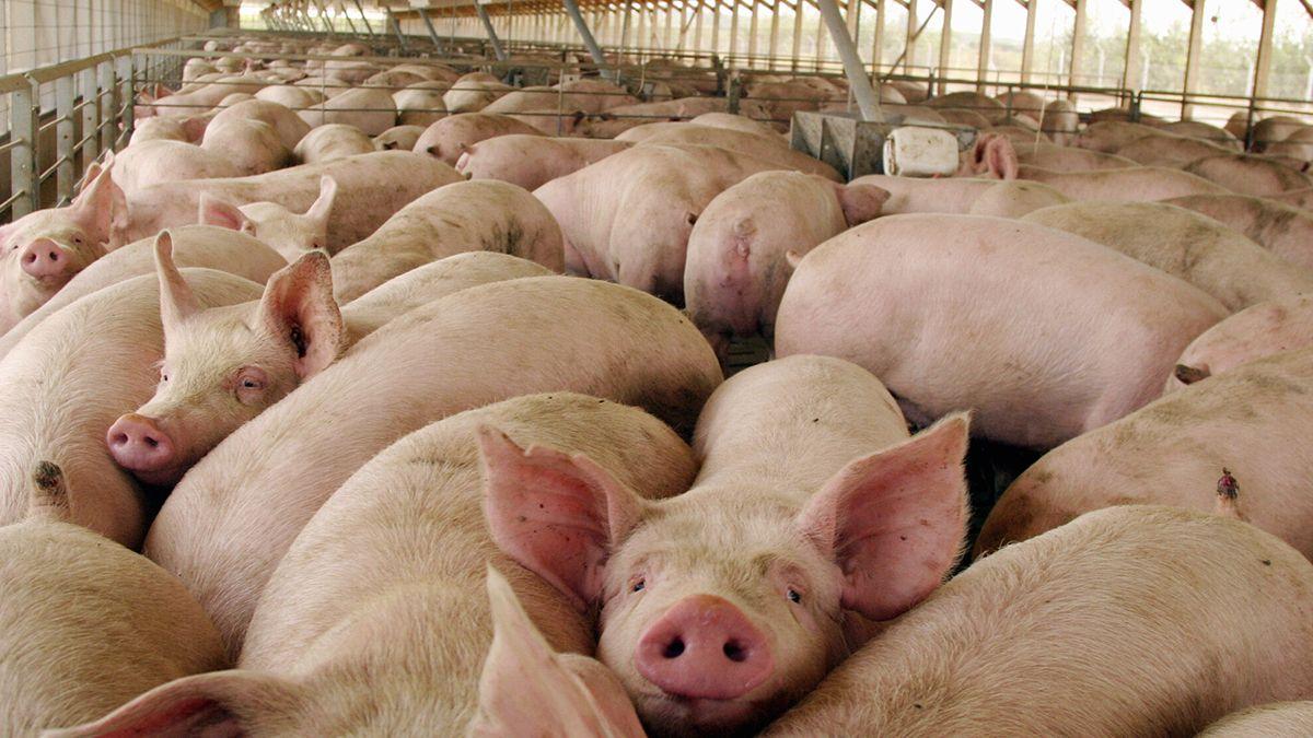 Funcionarios y científicos explican qué tan sustentable es la producción de cerdos a escala.