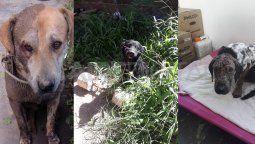 El Instituto de Salud Animal de la Municipalidad recibe constantemente perros abandonados y maltratados. Allí se les brinda atención sanitaria, alimento y vacunas.