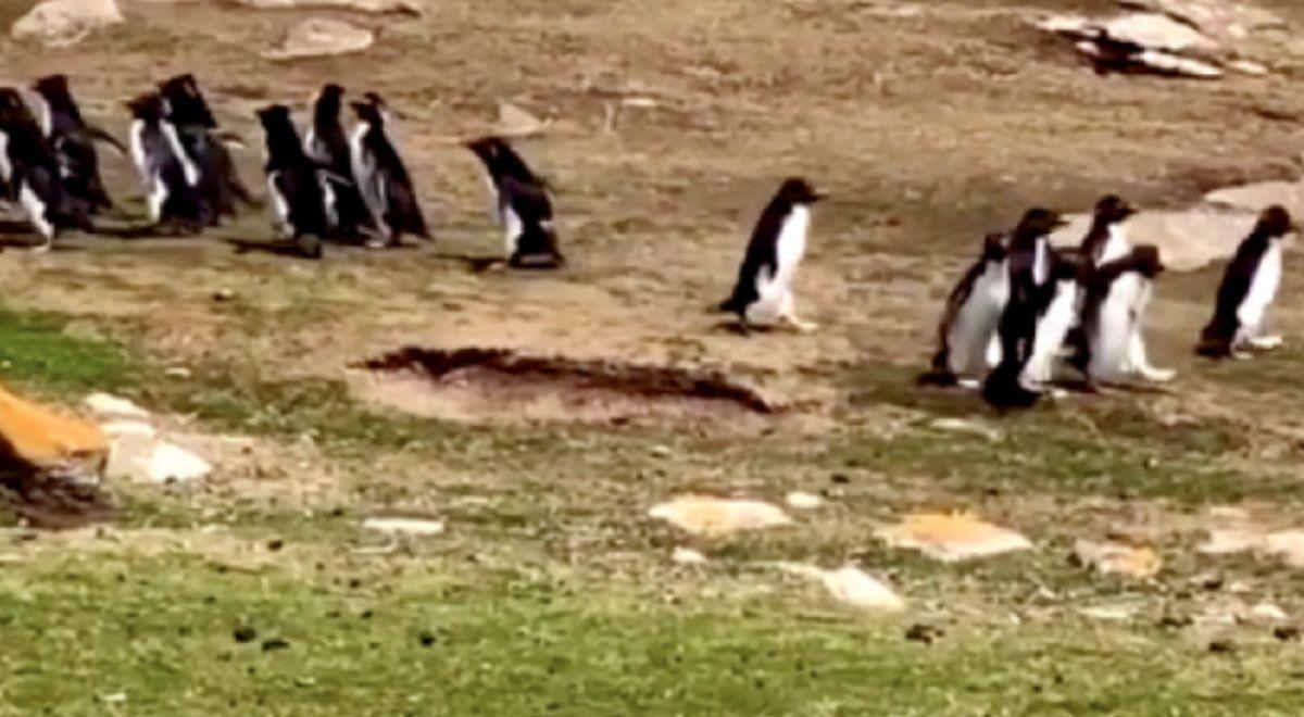 Viral: un pingüino se confunde y se va con otro grupo de animales.