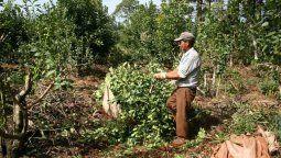 Los trabajadores que participan de la cosecha de la yerba mate se conocen como tareferos y son algunos de los más vulnerados y pobres en la producción agraria argentina.