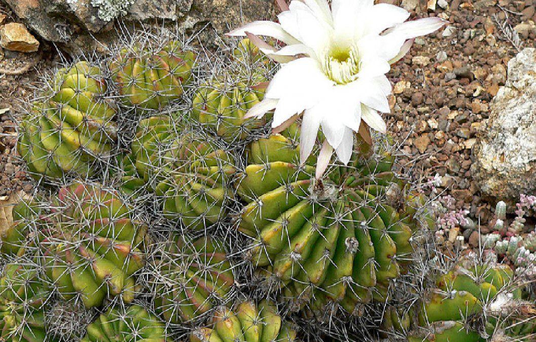 7 tipos de cactus y suculentas muy raros que llaman la atención del mundo