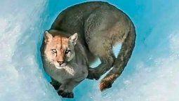 El puma (Puma concolor) es uno de los felinos más grandes del país y cuenta con una amplia distribución geográfica, ya que se lo puede registrar a lo largo de toda la zona cordillerana, pero también en la zona serrana del centro de la Argentina y el Litoral.